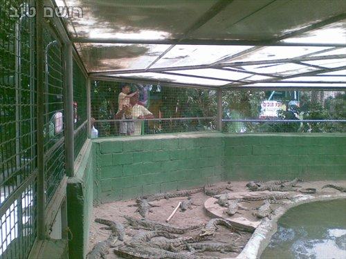תנינים בחמת גדר-1