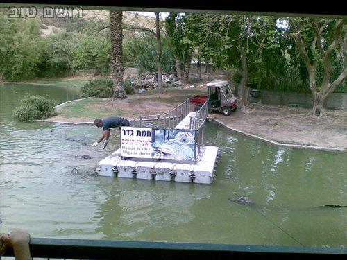 תנינים בחמת גדר-3