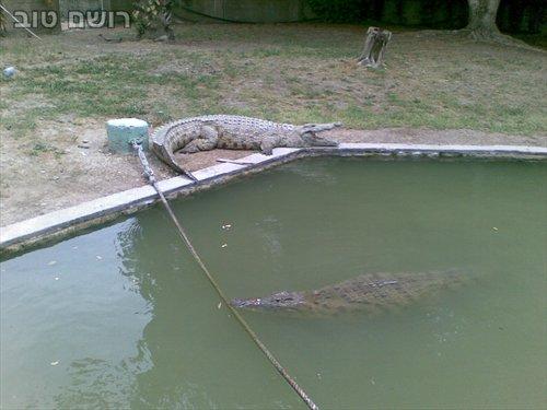 תנינים בחמת גדר-7
