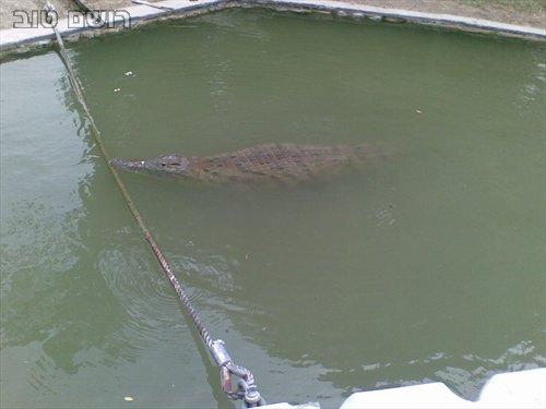 תנינים בחמת גדר-8