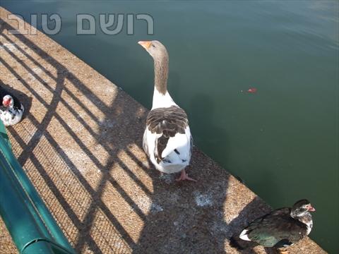 אגם רעננה-3