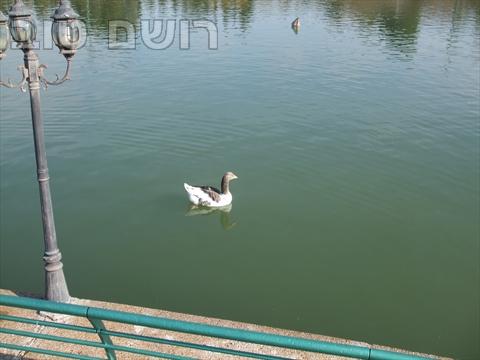 אגם רעננה-7