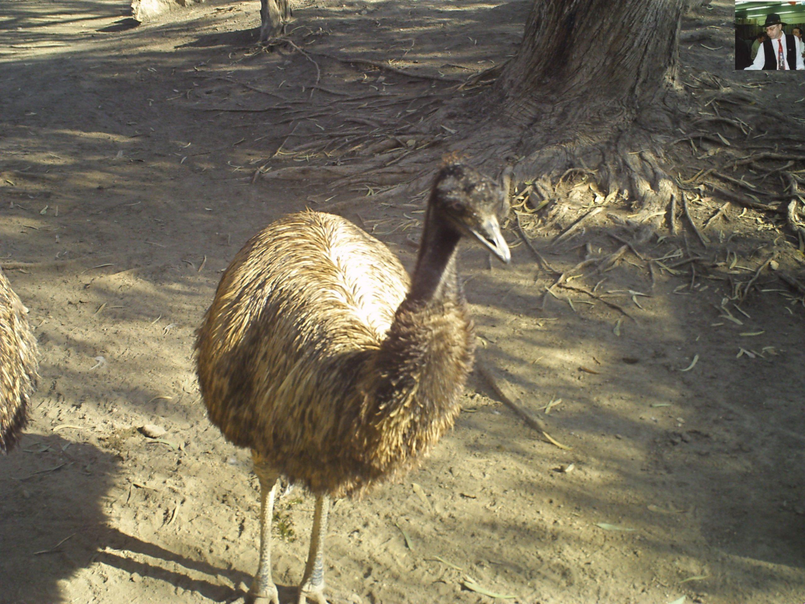 קנגרו Israeli kangaroo16