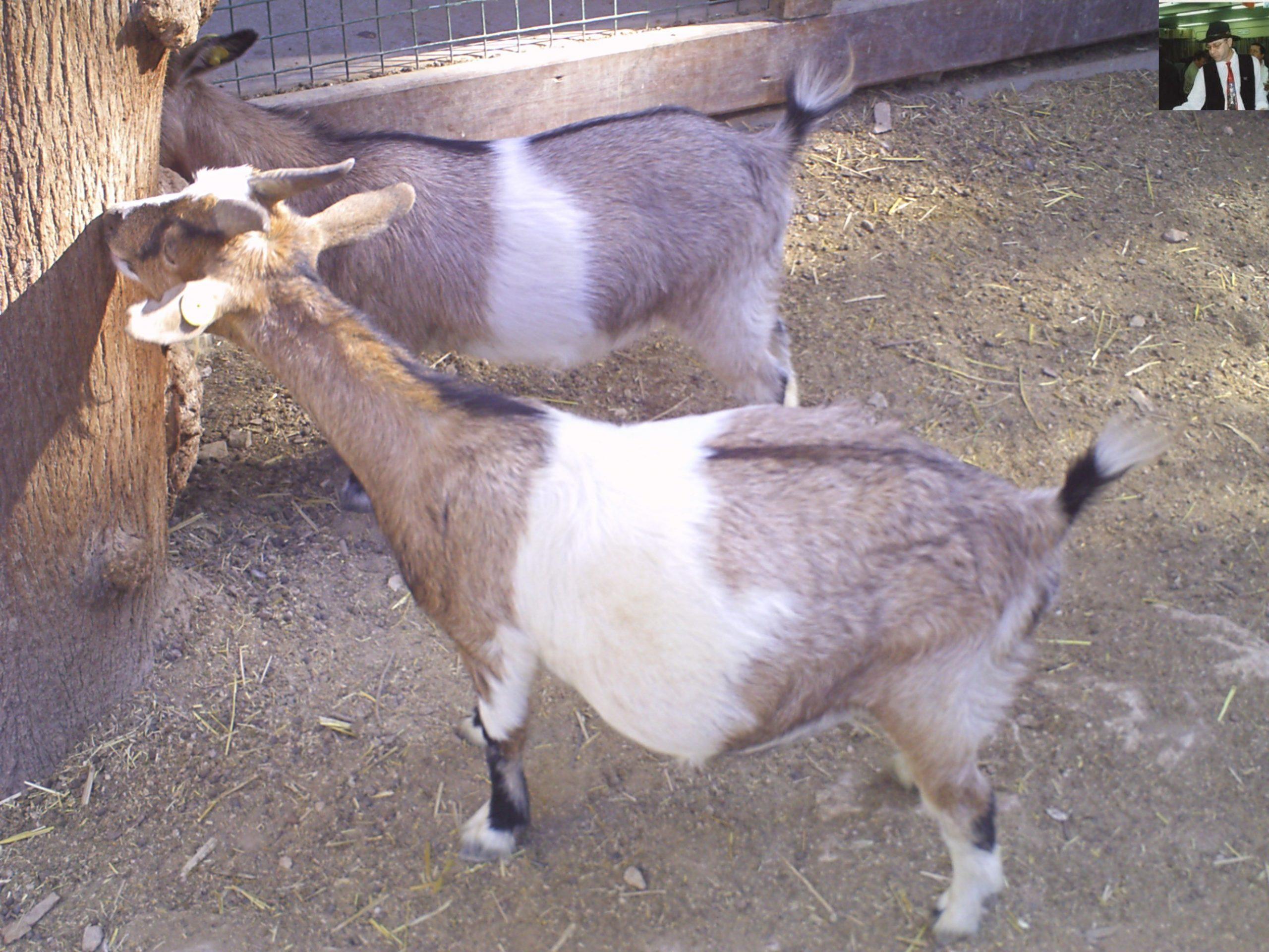קנגרו Israeli kangaroo18