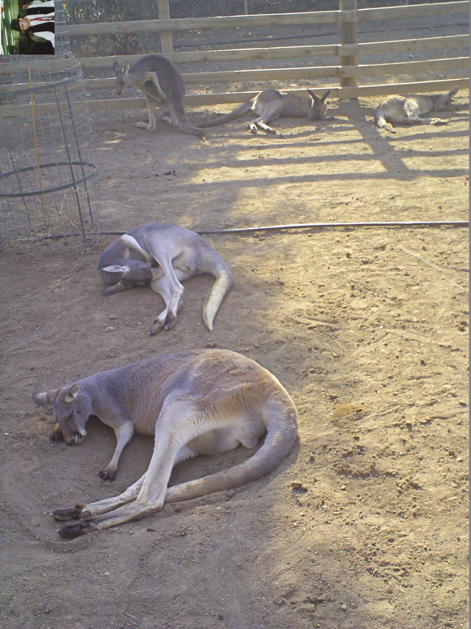 קנגרו Israeli kangaroo21