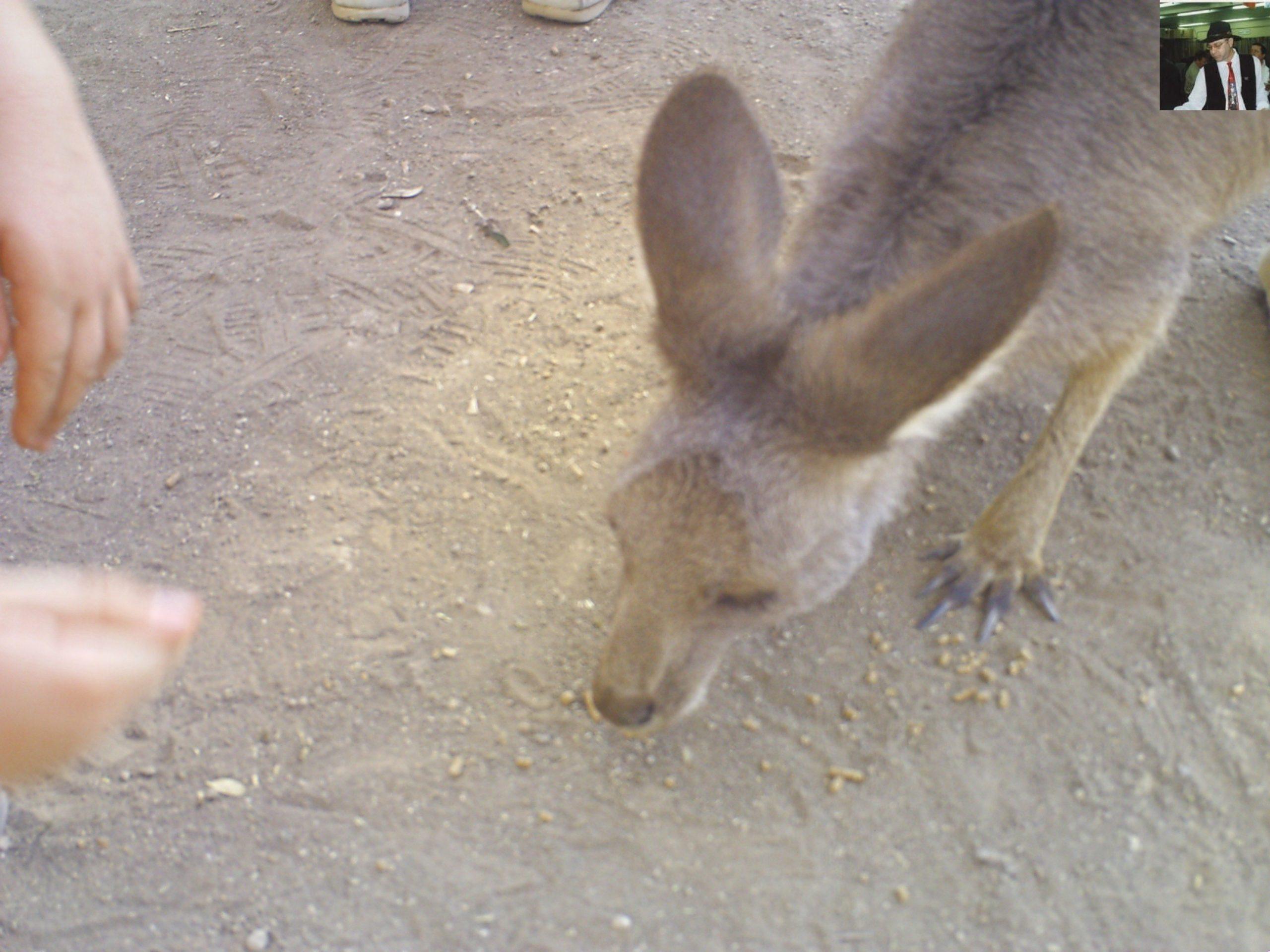 קנגרו Israeli kangaroo22