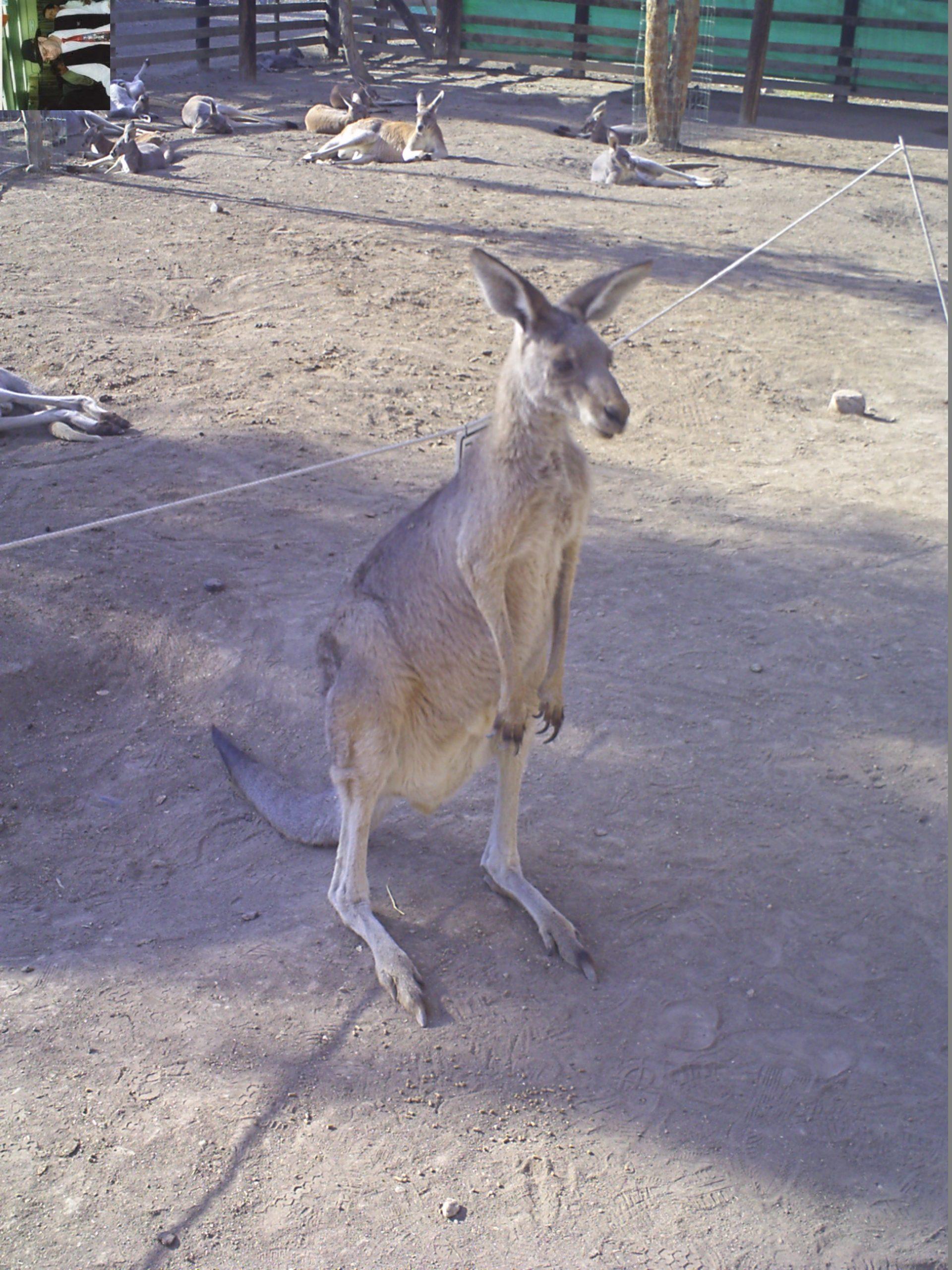 קנגרו Israeli kangaroo24