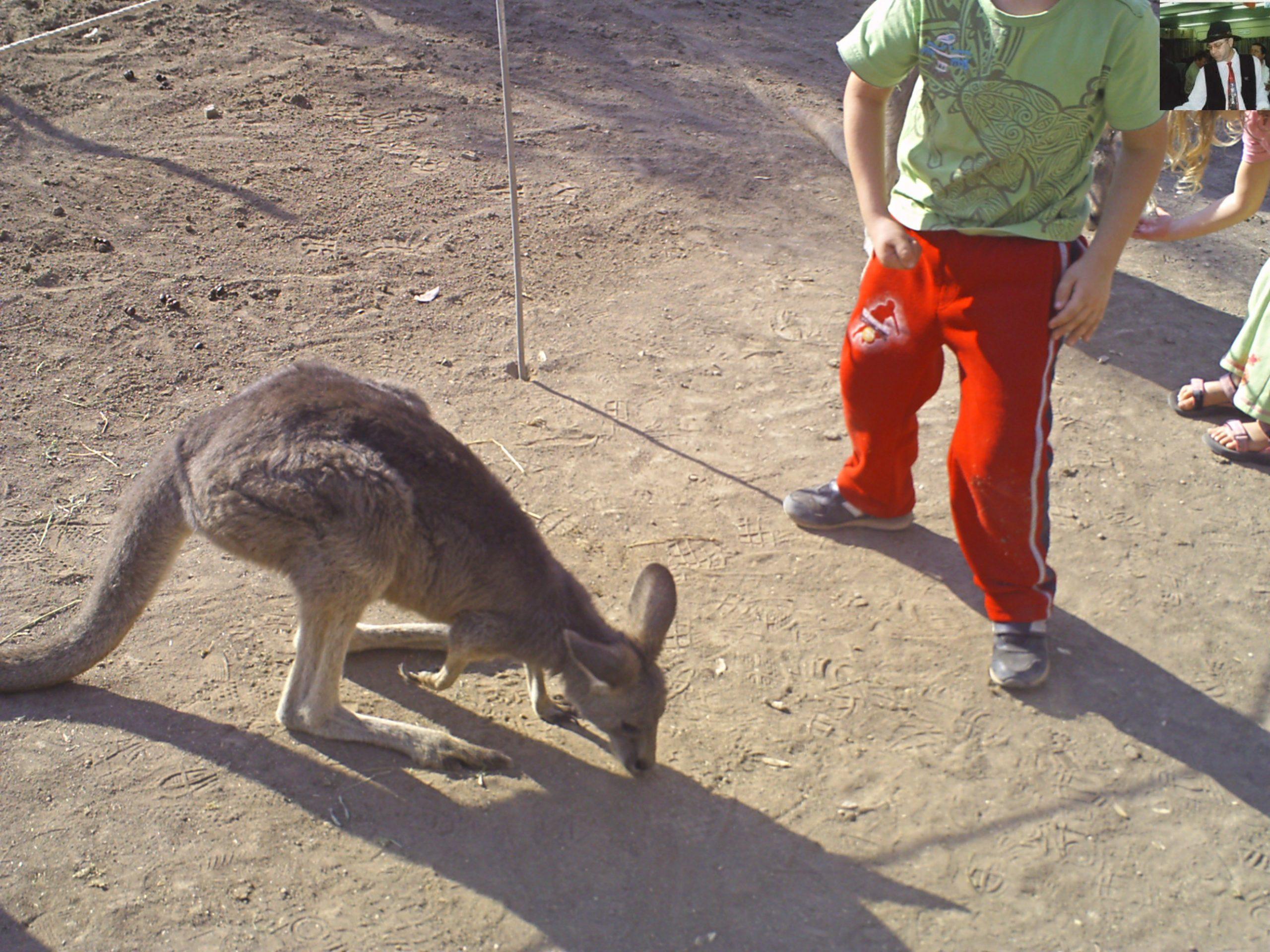 קנגרו Israeli kangaroo25
