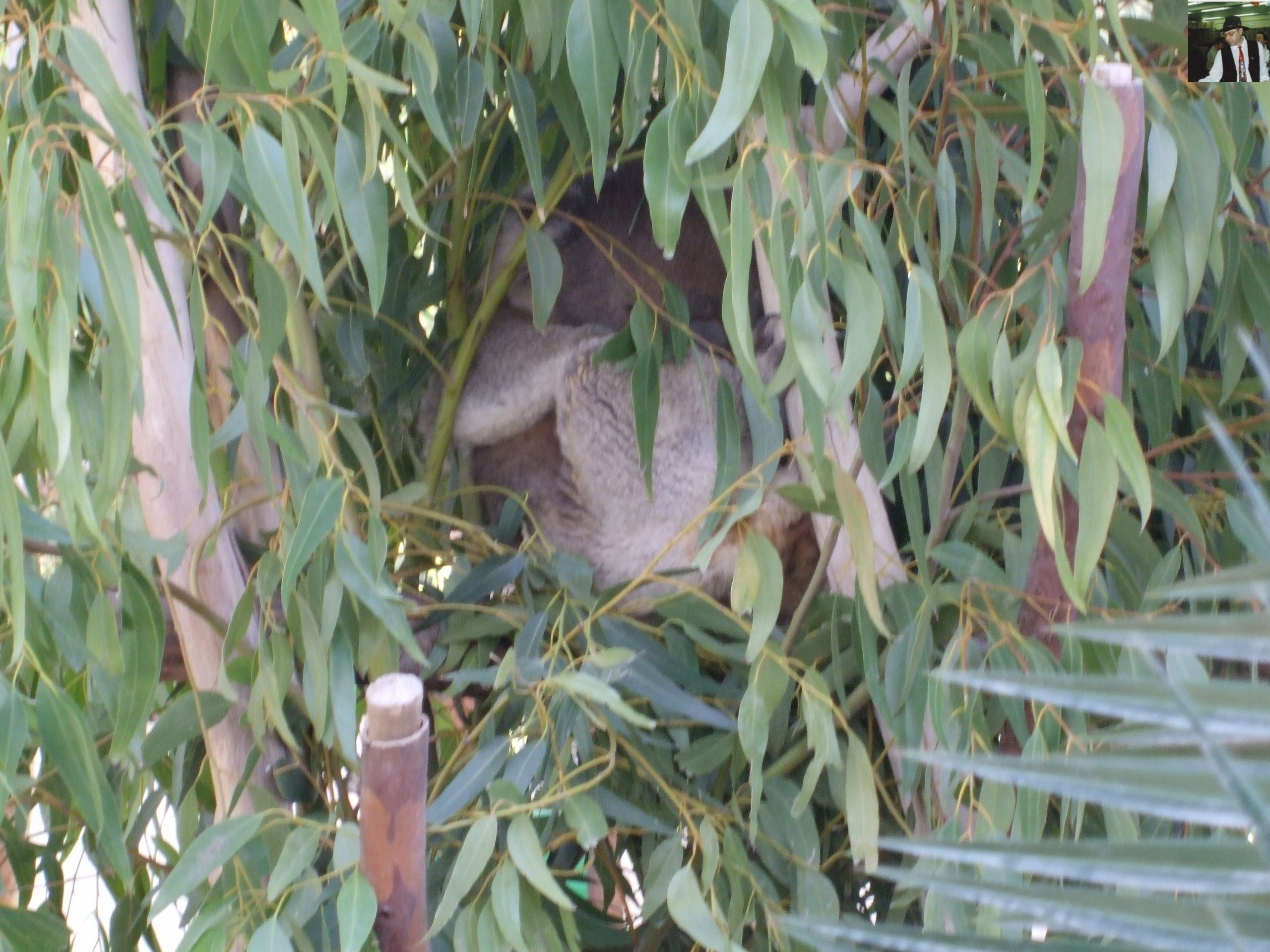 קנגרו Israeli kangaroo36