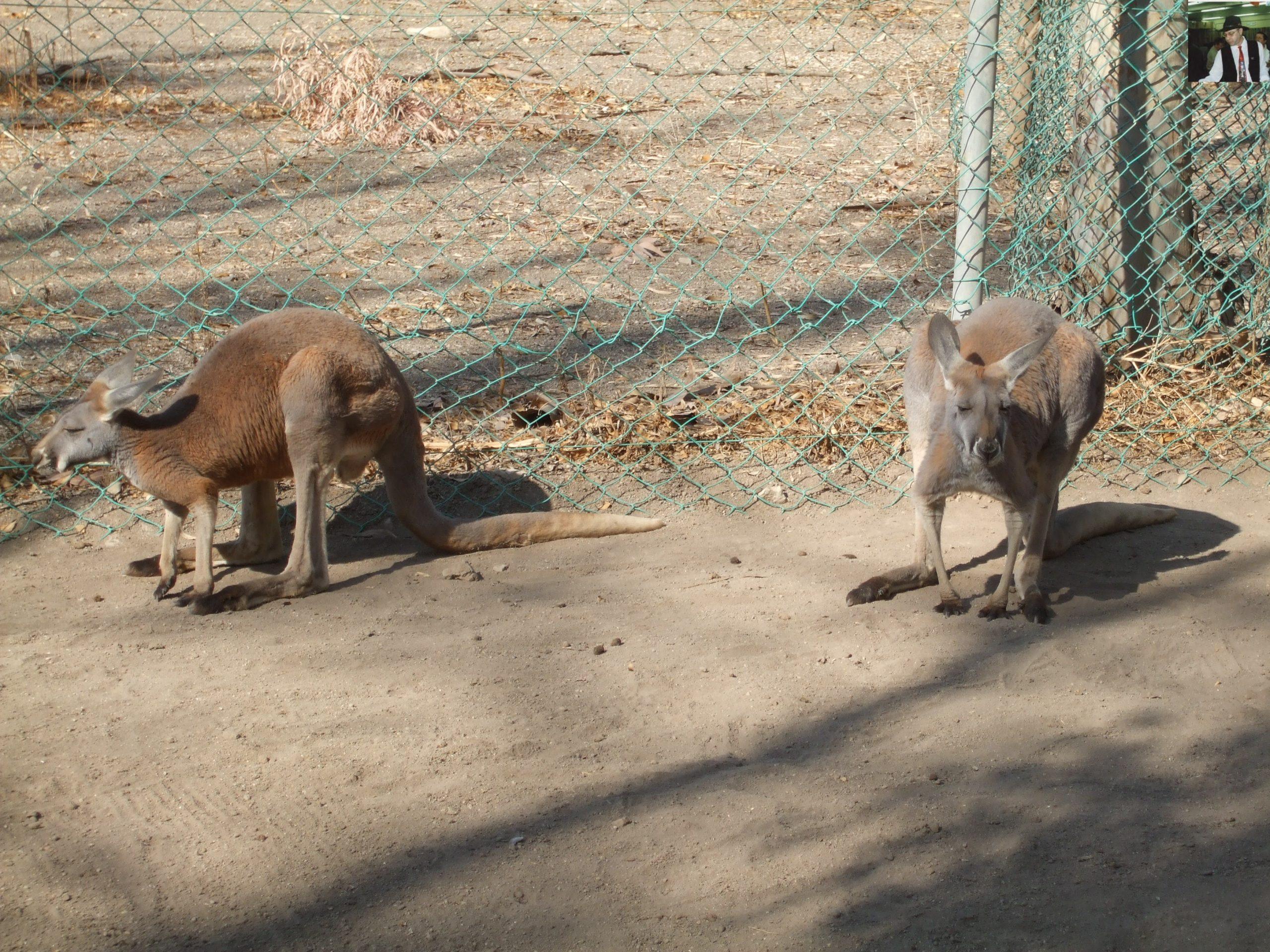 קנגרו Israeli kangaroo38
