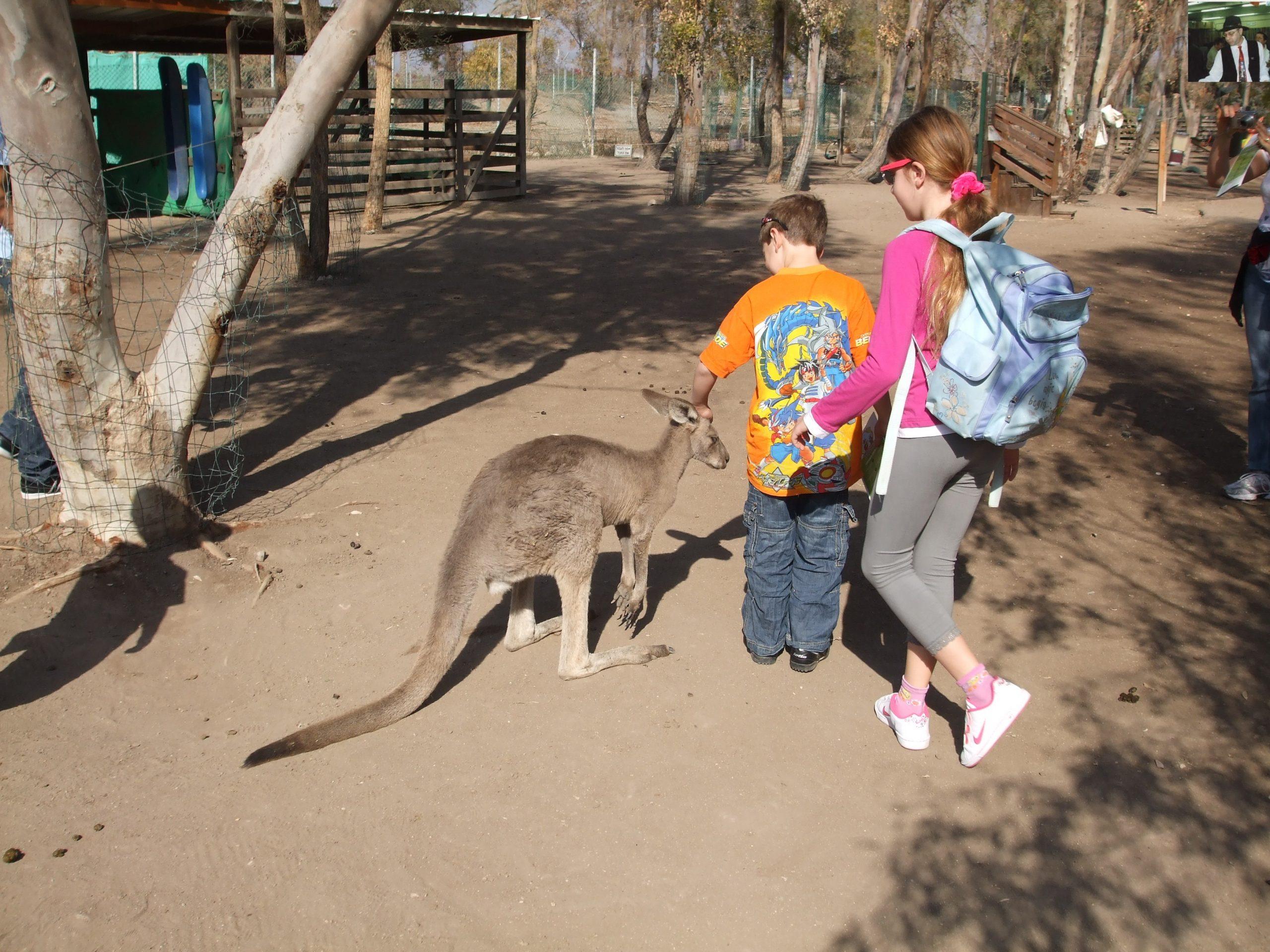 קנגרו Israeli kangaroo46
