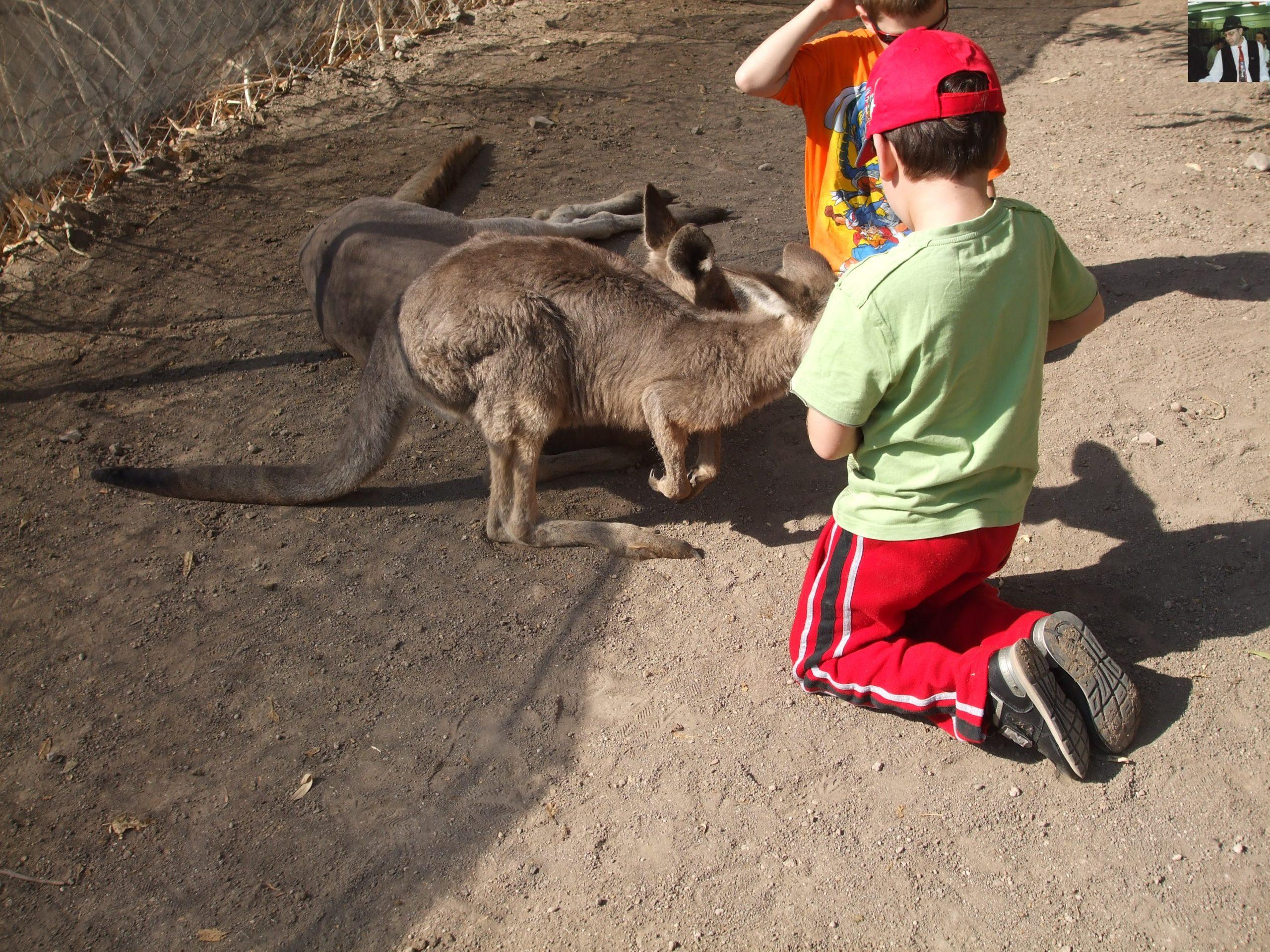 קנגרו Israeli kangaroo48