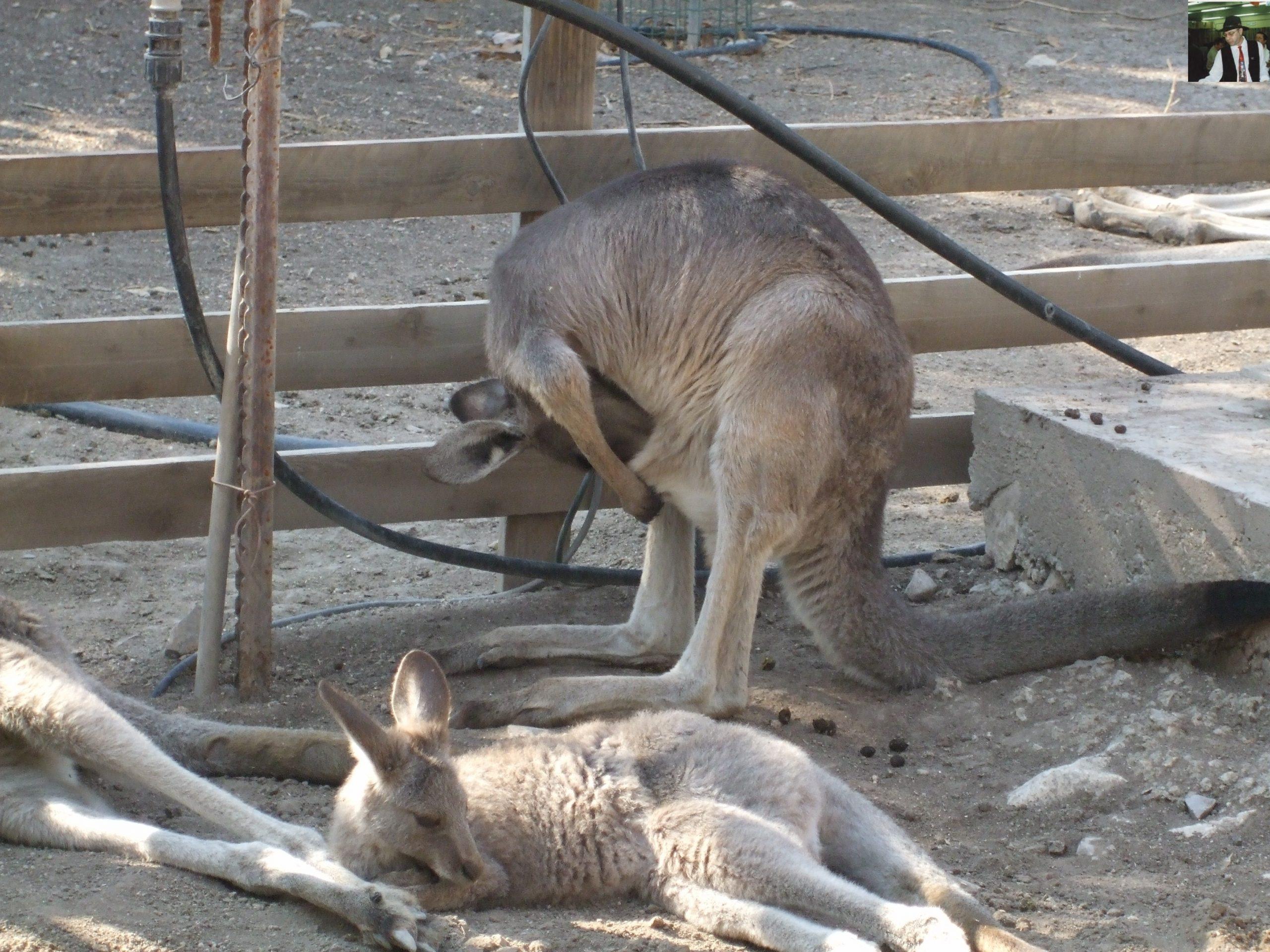 קנגרו Israeli kangaroo52