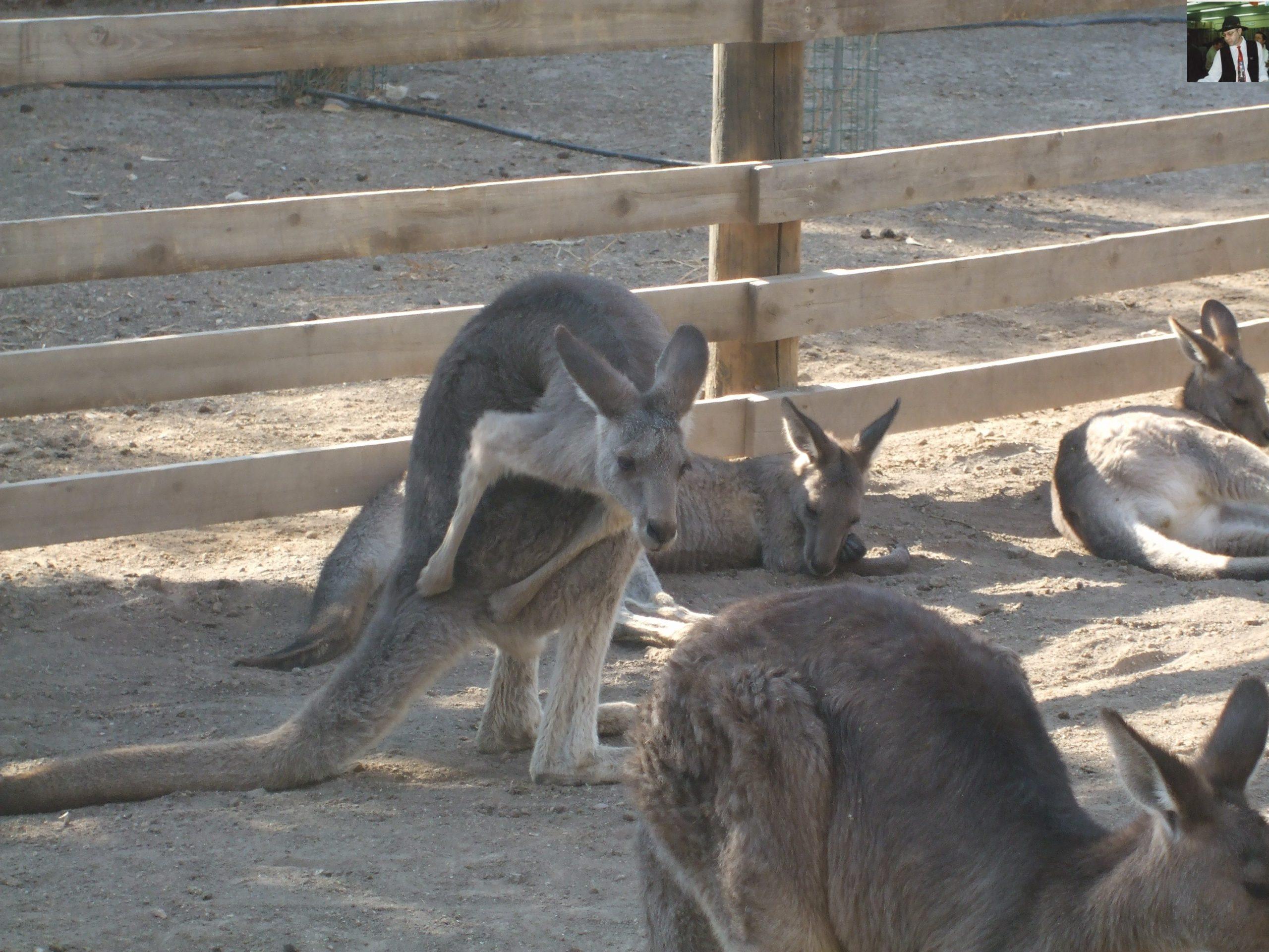 קנגרו Israeli kangaroo67